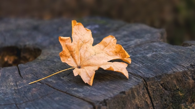 切り株の森の乾燥したオレンジ色のカエデの葉