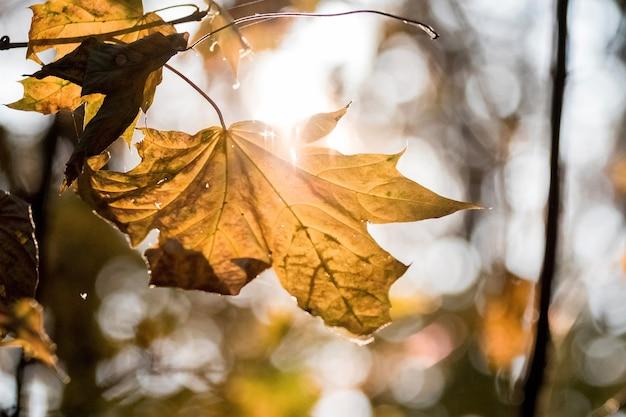 晴天時に木の上の乾燥したオレンジ色のカエデの葉