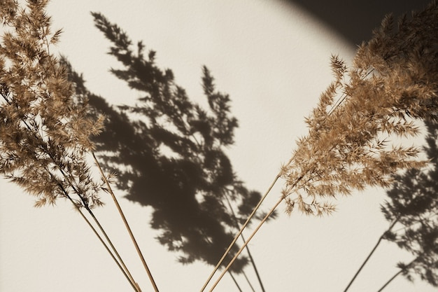 Dry pampas grass  reed. shadows on the wall. silhouette in sun light. minimal interior decoration concept.