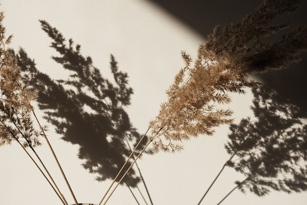 Dry pampas grass  reed in stylish vase. shadows on the wall. silhouette in sun light.