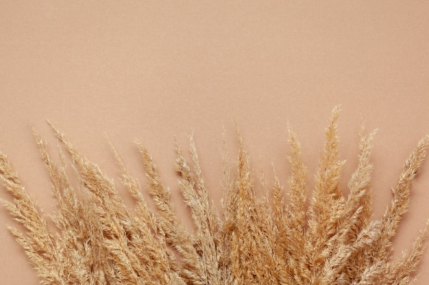 Dry pampasdry pampas grass on pastel beige background.