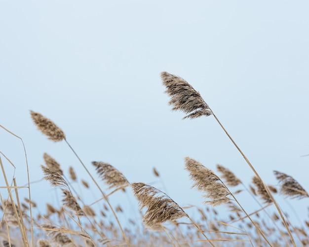 푸른 하늘 자연 배경에 대해 호수에 마른 식물 갈대 자연의 환경 위안