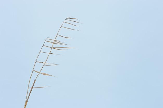 푸른 하늘 자연 배경 자연 디자인과 색조에 대한 호수에 마른 식물 갈대