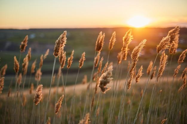 乾いた植物は日没時に風の中でフィールドにしゃがみます。
