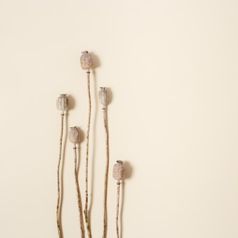 Dry poppy on beige colored paper background. poppy seeds in buds. minimal style