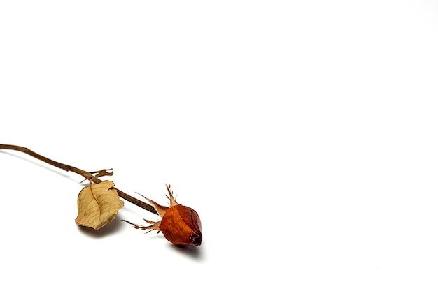 흰색 배경으로 마른 붉은 장미