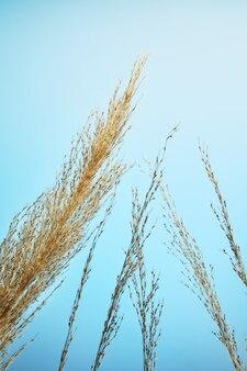 乾燥した葦の枝