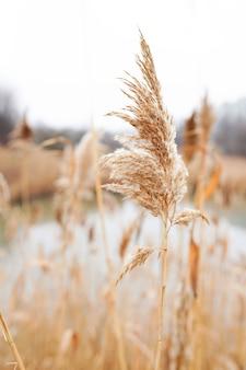 바람에 마른 갈대, 호숫가, 가을 풀, 추상적 인 자연 배경