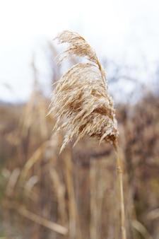 湖の乾いた葦。黄金の葦草。抽象的な自然な背景。自然な色の美しいパターン。最小限のスタイリッシュなトレンドコンセプト。