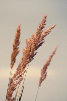 Сухой тростник на лугу, тростник, семена тростника. золотая трава тростника на солнце. абстрактный естественный фон, нейтральные цвета. минималистичная, стильная, трендовая концепция.
