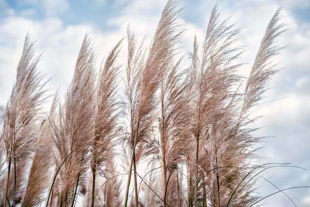 昼間の空を背景に乾燥した葦やパンパスグラス
