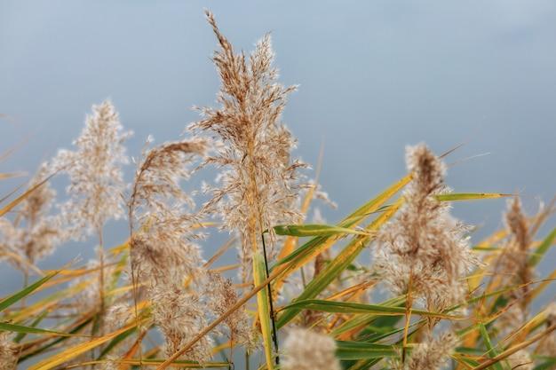 秋の湖の上の乾燥したヨシ植物