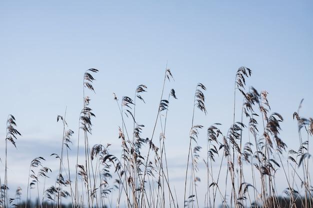 Сухие тростниковые растения на фоне голубого вечернего неба