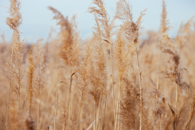 Dry reed.