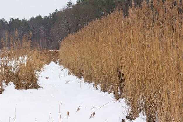 葦を乾燥させます。森林。冬。雪