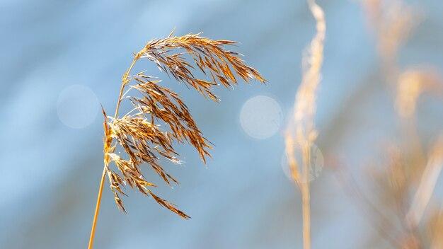 晴天時の青い川の水を背景に乾いた葦