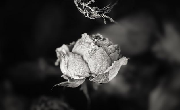 ドライローズ。花束の乾燥したバラの花のクローズアップ白黒写真。生と死の概念。枯れた花