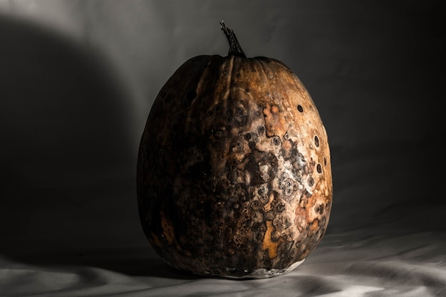 Dry and rotten pumpkin on a black white background spoiled vegetable sinister food