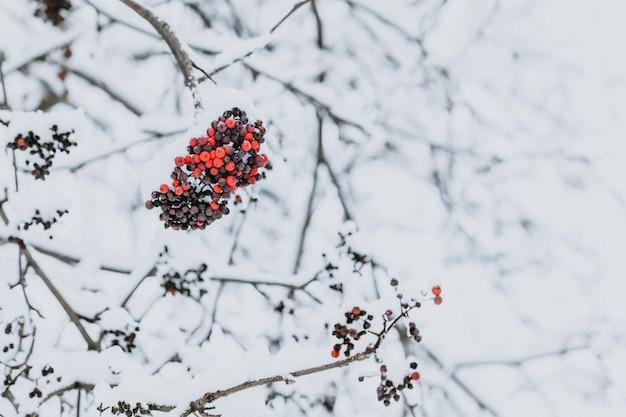 Сухие ягоды рябины на дереве зимой в снегу