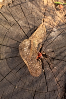 Dry skeletonized leaf on a stump