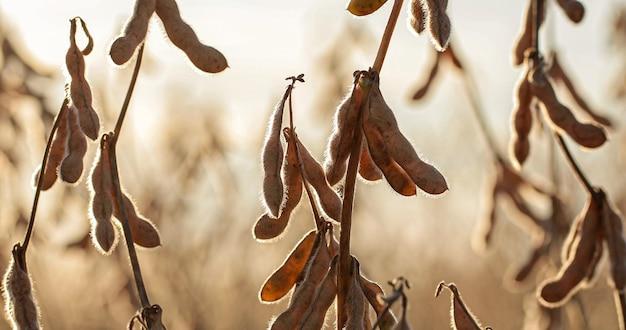 日没時の乾燥大豆農園