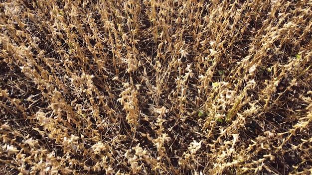 수확할 준비가 된 마른 콩. 농업 분야의 대두 작물.