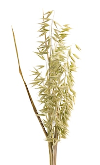Dry spikelets of oat, isolated on white