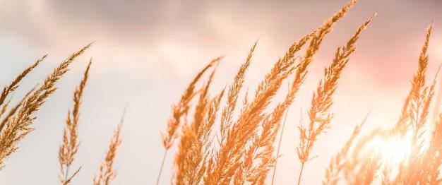 秋の野に、高草の乾燥した小穂が生えています。自然の中の小麦のハーブ。灰色の空と美しい植物の背景。