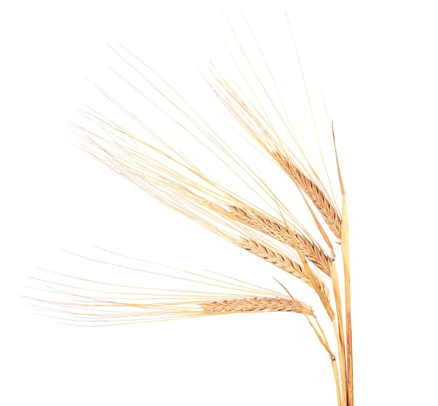 Dry spikelets of wheat, isolated on white
