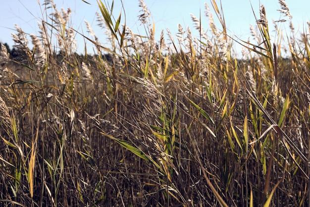 Сухие стебли камыша у пруда качаются на ветру в осенний день