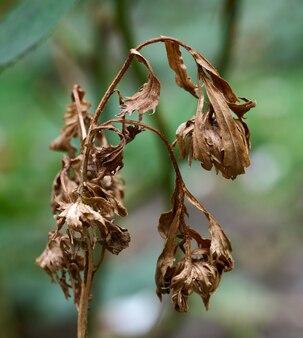 Dry stem of faded aster flower in the garden