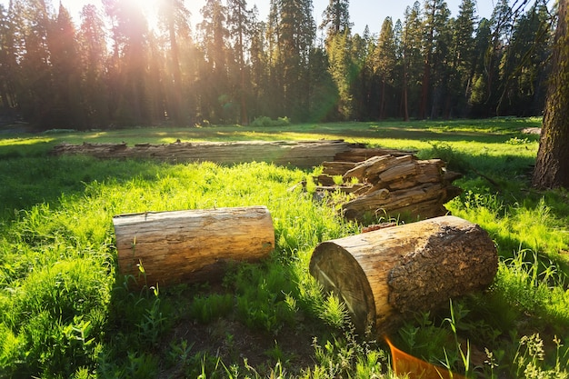 Dry stumps of pine tree on green meadow at sunset