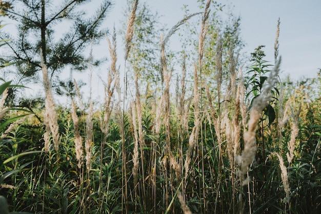 背の高い草を乾かします。秋の自然