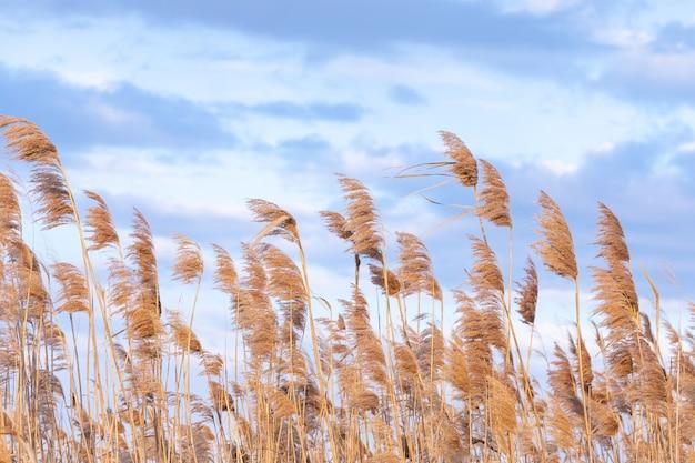 美しい空を背景に葦の乾燥した茂み