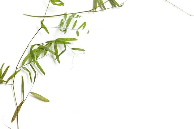 Сухие тонкие стебли дикого горошка. элемент для зеленого эко-дизайна.