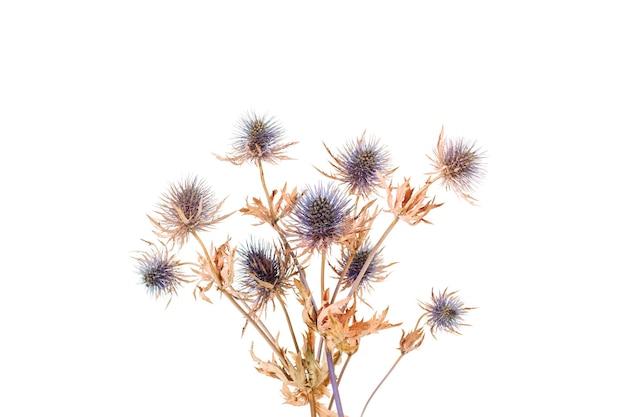 Сухие цветы чертополоха, изолированные на белом фоне