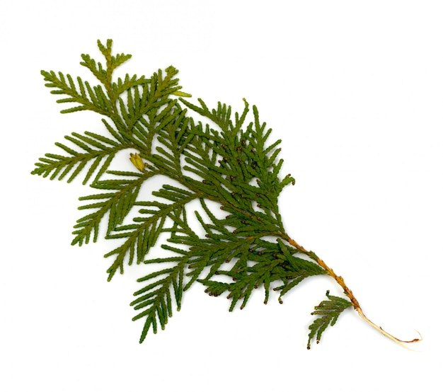 Dry thuja sprig isolated