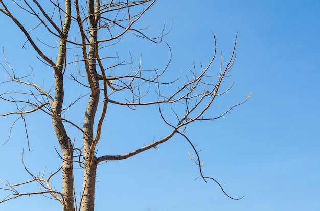 Dry tree and blue sky in summer.