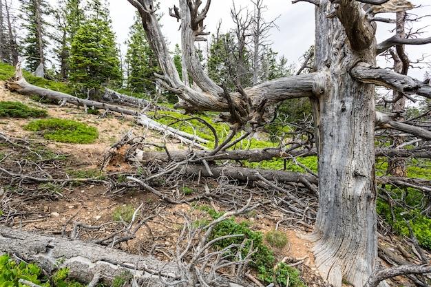 Сухое дерево в лесу