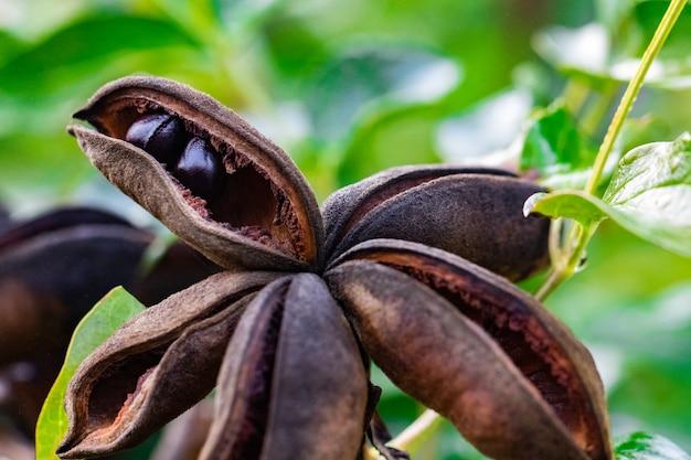 Сухая грядка древовидного пиона с семенами внутри.