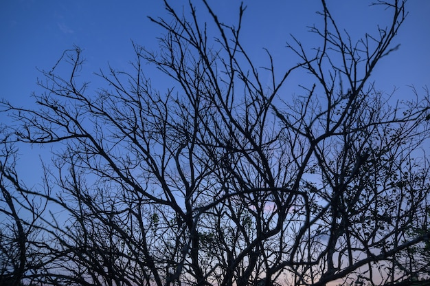 Dry tree silhouette against the sky in the evening