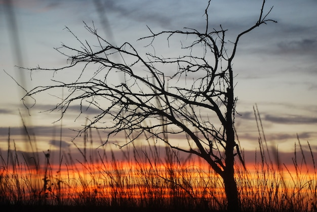 Dry tree silhouette with red sunset