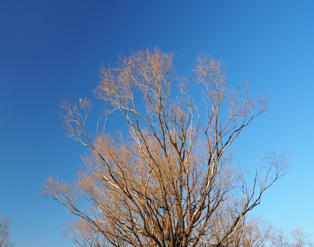 Dry tree stand in winter and clear blue sky at tokyo japan.