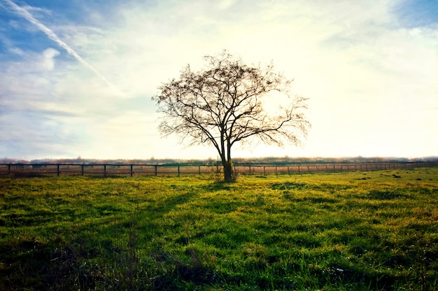 Dry tree in a sunset
