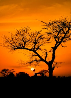 Dry tree at sunset