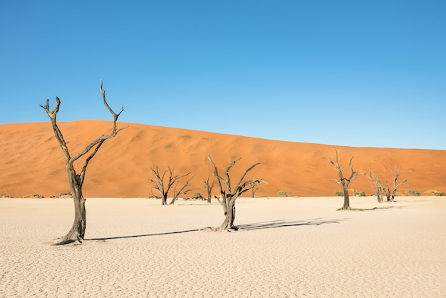 Dry trees in desert crater area at deadvlei in sossusvlei territory