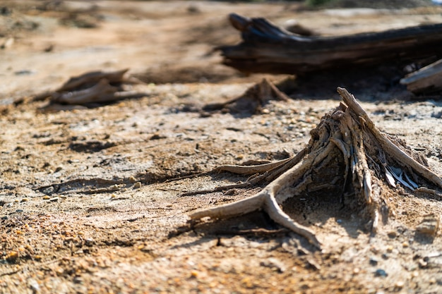 Dry trees stumps on the dead because of heavy metals brown earth in karabash zone of ecological disaster, russia
