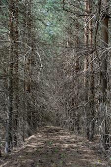 우울한 어두운 가문비나무 숲에 가지가 튀어나온 마른 나무