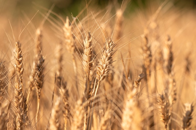 Dry wheat field close up