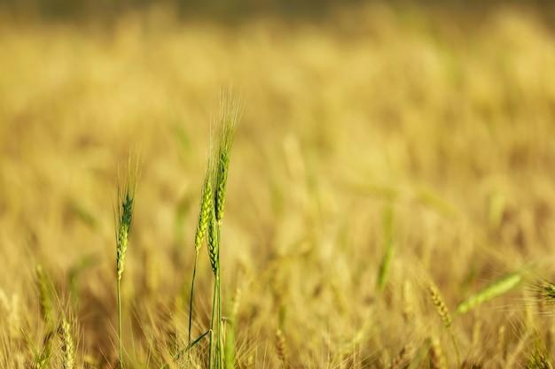 Сухое пшеничное поле в индийской ферме